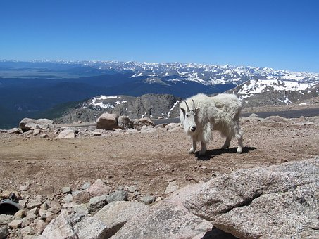 Mt, Evans, Colorado, Goat, Altitude, Mountain, Rocky