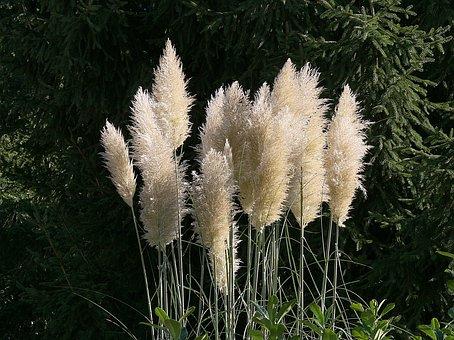 Pampas Grass, Flowers, White, Flower, Nature, Garden