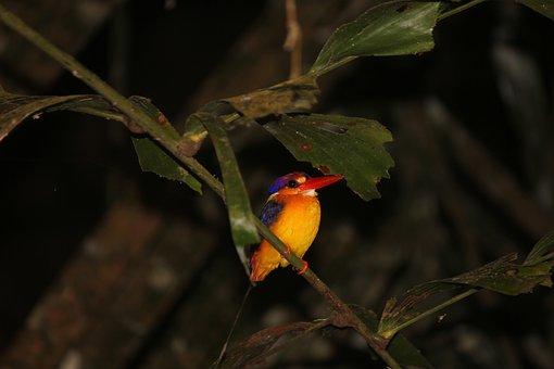 Oriental Dwarf Kingfisher, Foliage, Colourful Birds