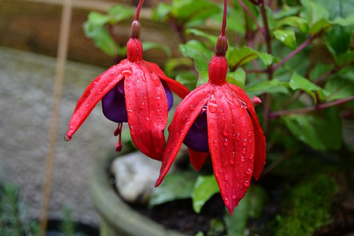 Fuchsia, Potted Plant, Woody, Hardy, Perennial Variety