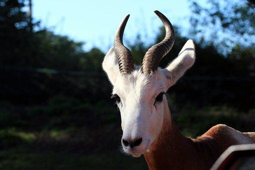 Dama, Gazelle, Nanger Dama, Gazelle Type, Horned