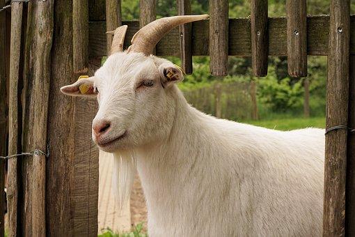 Goat, Domestic Goat, Animal, Horns, Billy Goat, Pet