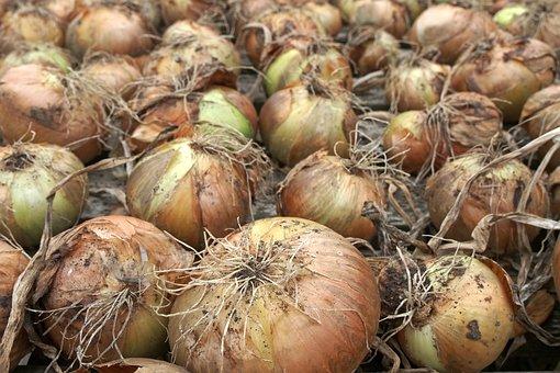 Onion, Crop, Harvest, Drying, Allium, Bulb, Root