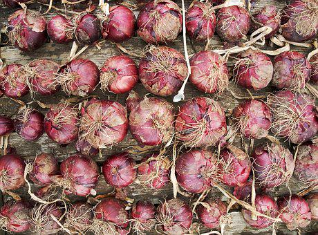 Red, Onion, Crop, Harvest, Drying, Allium, Bulb, Root