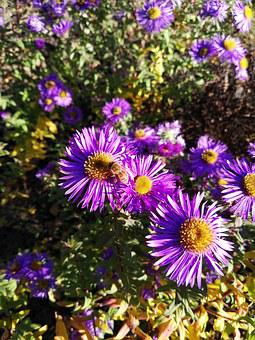 Bee, Aster, Herbstastern, Autumn, Insect, Be Duster