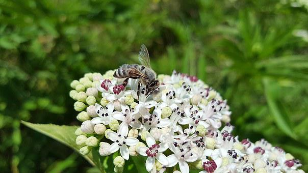 Bee, Honey Bee, Anthophila, Insect, Pollen, Collect