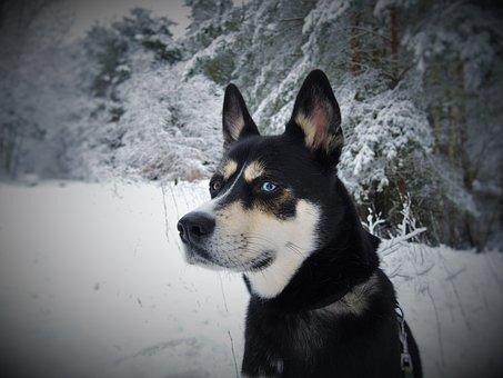 Dog, Husky, Husky Mongrel, Blue Eyes, Sibirian Husky