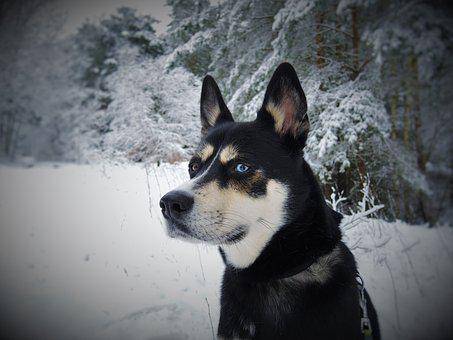 Dog, Husky, Husky Mongrel, Blue Eyes, Sibirian Husky