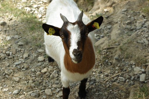 Goat, Pet, Kid, Dwarf Goat, Livestock, Cute