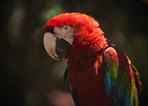 Macaw, Ave, Bird, Red, Animals, Tropical Bird, Animal