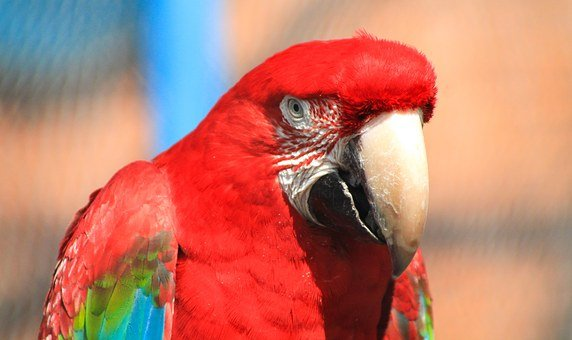 Macaw, Feathered, Feather, Pen, Madárféle, Ovipositor