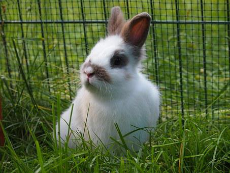 Hare, Meadow, Ears, Munchkins, Dwarf Rabbit, Fig