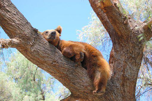 Bear, Tree, Nap, Landscape, Grizzly, Nature, Animal