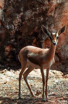 Gazelle, Dorcas, Nature, Wild, Wild Animal