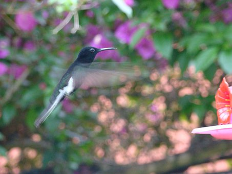 Hummingbird, Paige, Flight Of Beija Flor, Colibri