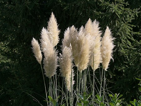 Pampas Grass, Flowers, White, Flower, Nature, Garden