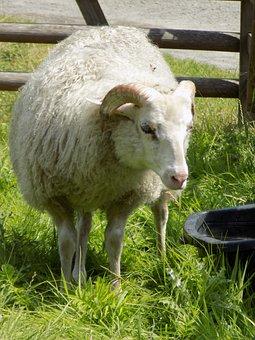 Heidschnucke, Nordic Short Tail Sheep, Sheep, Pasture