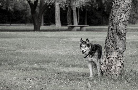 Dogs, Animals, Siberian Husky, Pet, Bitch, Puppy