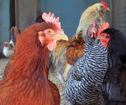Chicken, Hen, Pullet, Agriculture, Red, Rhode Island