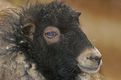 Quessantschaf, Dwarf Sheep, Breton, Small, Hochbeinig