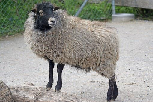 Quessantschaf, Sheep, Dwarf Sheep, Breton, Small