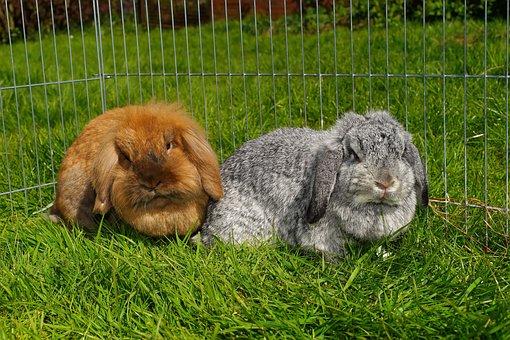 Rabbit, Lion Heads, Floppy Ear, Dwarf Rabbit, Cute