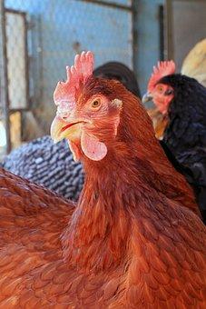 Chicken, Hen, Pullet, Red, Rhode Island, New England