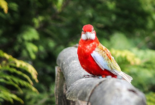 Parrot, Bird, Madárféle, Red, Feather, Red Pen, Nice