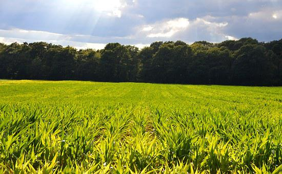 Corn Fields, Reported, Monoculture, Flood, Risk