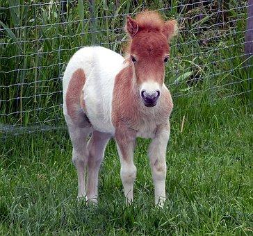 Shetland Pony, Foal, Mini Pony, Dwarf Pony, Horse Baby