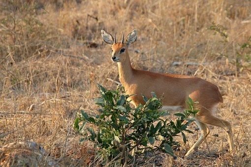 Steenbok, Kruger, Deer, Antelope, Gazeller, Africa