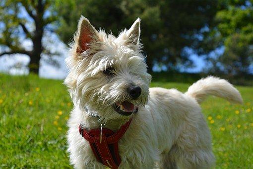 Cairn Terrier, Cairn, Terrier, Dog, Pet, Purebred