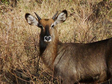 Gazelle, Thomson, Tanzania, Tommie, Shorthorn