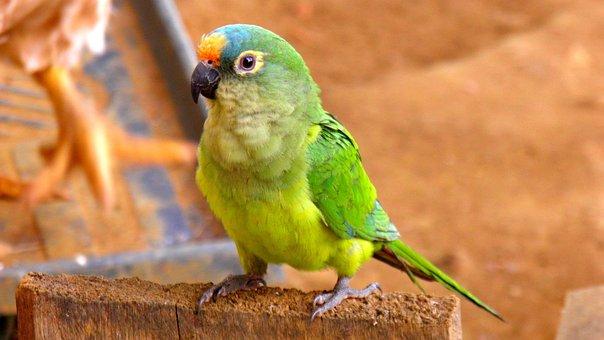 Parrot, Parakeet, Fauna, Tropical, Brazil, Birds