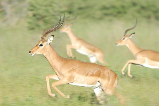Gazelle, Race, Horn, Animals, Wild