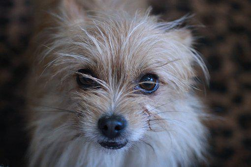 Terrier, Toto, Wizard Of Oz, Cairn Terrier, House Dog