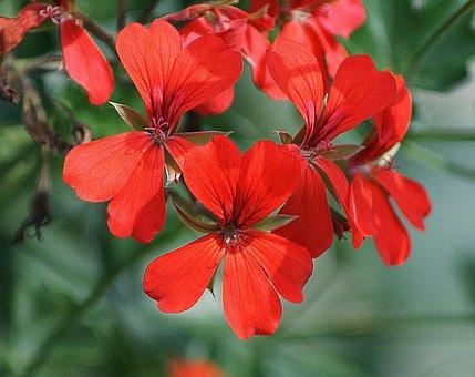 Geranium, A Flower Garden, Slopes With A, Balkonowa