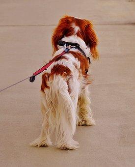 Dog, Alone, Wait, Cavalier King Charles Spaniel, Funny