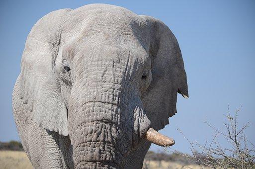 Elephant, Wilderness, Animal, Animal World, Nature