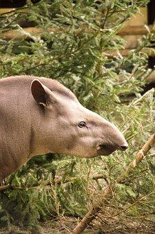 Tapir, Animal, Mammal, Zoo, Tiergarten, Perissodactyla
