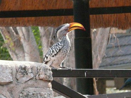 Hornbill, Bird, Animal, Yellow Billed, Safari, Africa