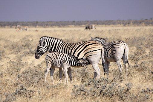 Zebra, Foal, Reborn, Drink, Suckle, Animals, Africa