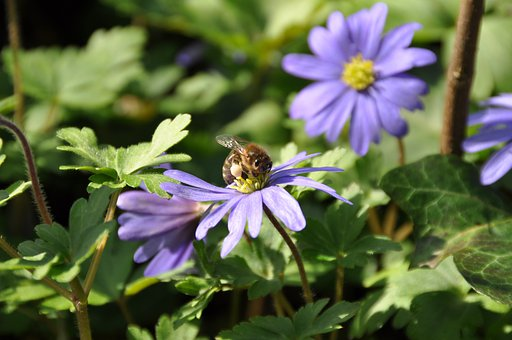 Wood Anemone, Bee, Purple, Lilac, Flower, Spring