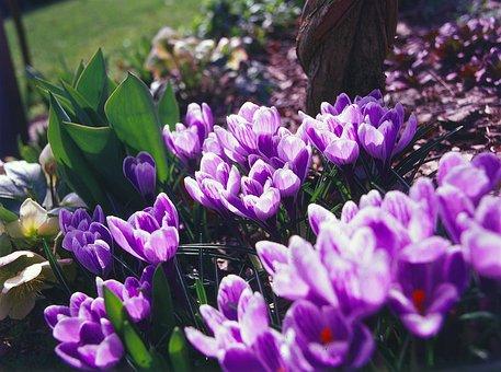 Crocus, Flower, Spring, Purple, Blossom, Garden, Nature