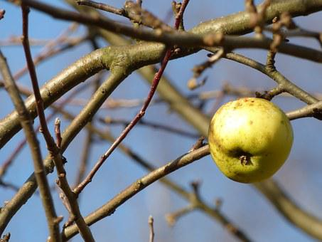 Autumn, Apple, Apples, Fruit, Branches, Tree, Nature