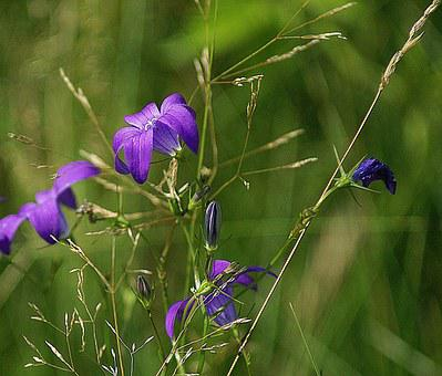 Campanula Patula, Flowers Wildflowers, Meadow, Nature