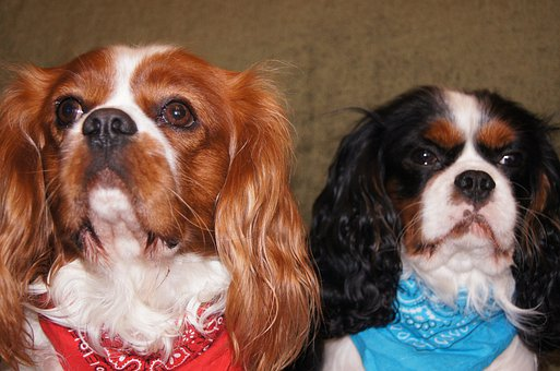 Cavalier King Charles Spaniel, Dogs, Breed Dogs