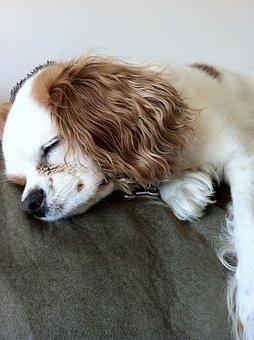 Dog Sleeping, Cavalier King Charles Spaniel, Pet, Dog