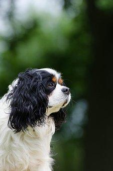 Cavalier King Charles Spaniel, Small Dog, Purebred Dog