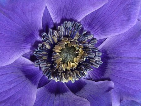 Anemone De Caen, Macro Photography, Close Up Stamens